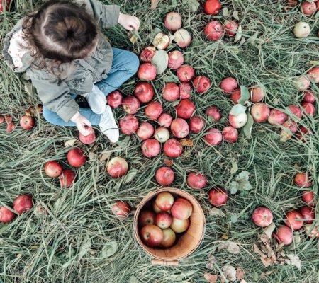 Apple Picking At Hansel's Apple Orchard